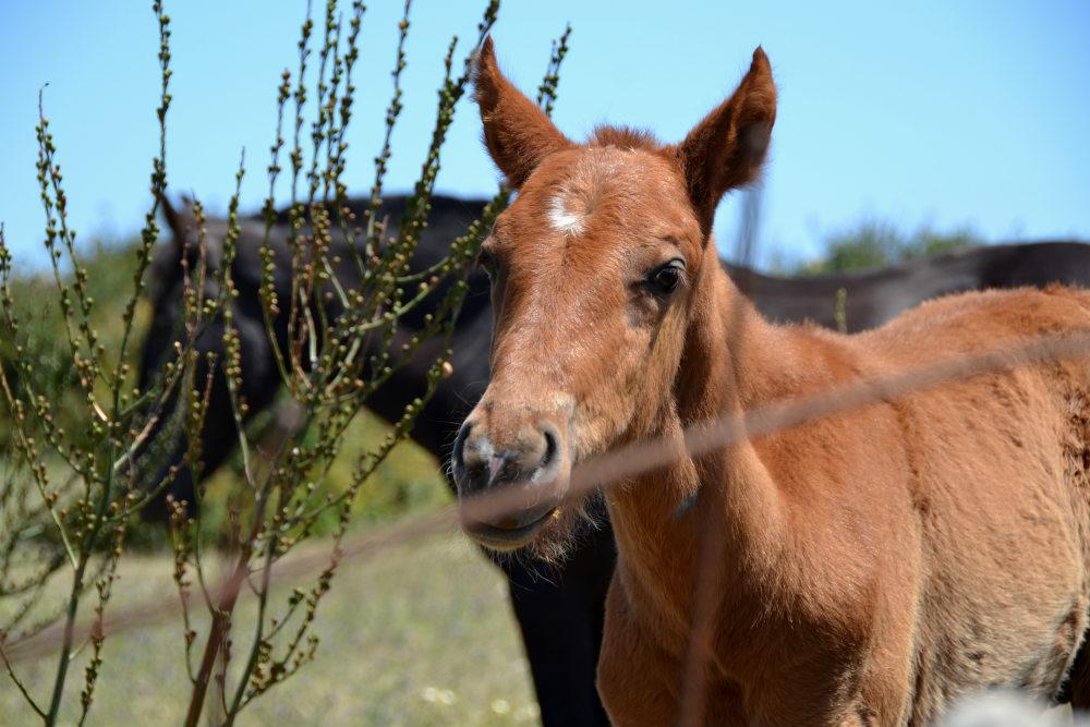 Menorquin Horses